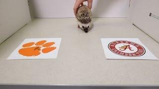 A hedgehog picks the national championship game winner