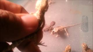 Baby Bearded Dragons for Sale 2013