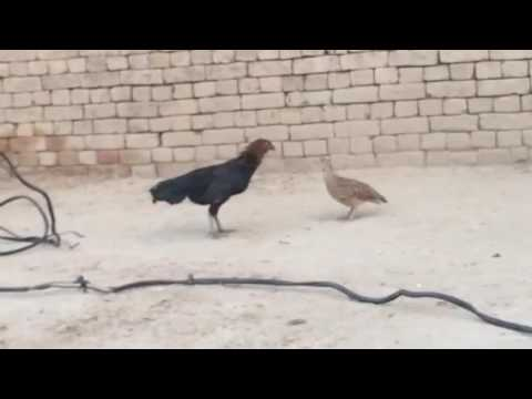 Xxx Mp4 9 May 2016 Waqass Pachakhail Tetar Fighting With Hine 3gp Sex