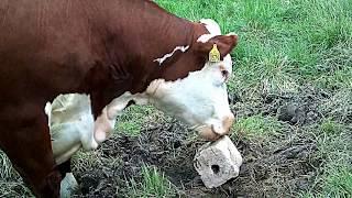 Cattle needs salt mineral blocks to lick -- Mad Cow Disease spread through shared salt licks?