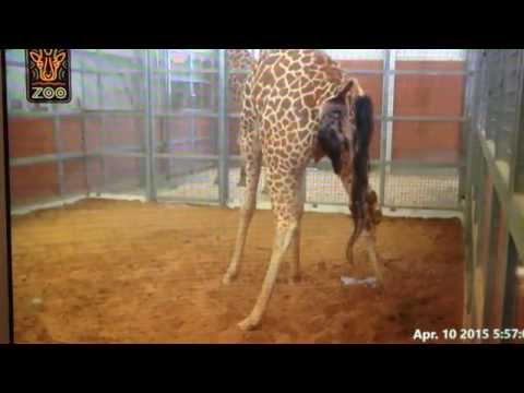 Birth of a giraffe at the Dallas zoo apr. 10 2015