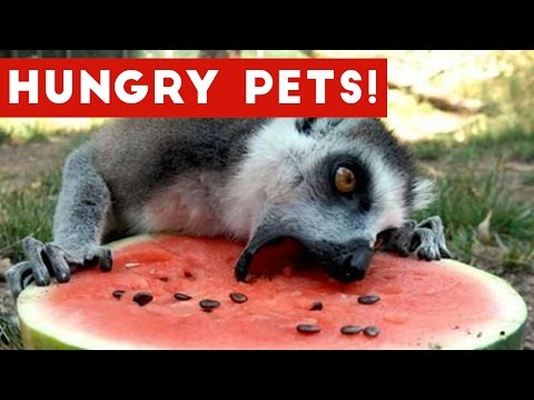 The Funniest Hungry Pet & Animal Videos Weekly Compilation 2017 Funny Pet Videos