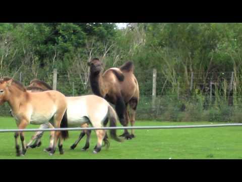 Camel VS Horse at Marwell
