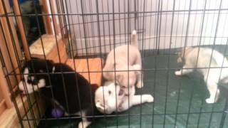 Puppie speeltijd (onze ukkies)