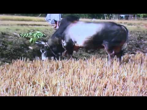 Bangladesh bullfight 2012 Jaguar