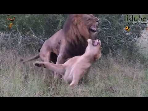 Sex In The Wild: Rough Lion Lovers #youtubeZA