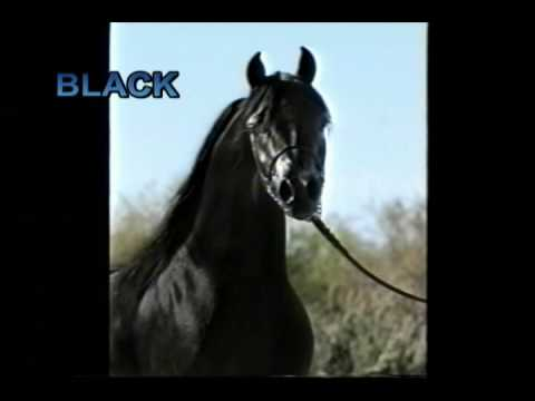 Black Arabian Stallion 2nd video