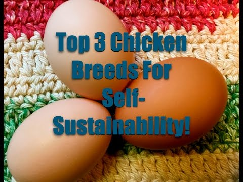 Top 3 Chicken Breeds For Self Sustainability