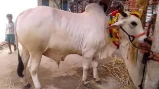 The Giant White King Qurbani Dhaka Bangladesh