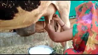 How to Milk cows by hand village woman / 15 Litres live video