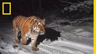 Protecting the Siberian Tiger's Last Home | Short Film Showcase