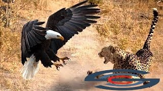 الهجمات لا يصدق معظم الحيوانات البرية - الحيوانات البرية - الأسد، هجوم جاكوار Amimal