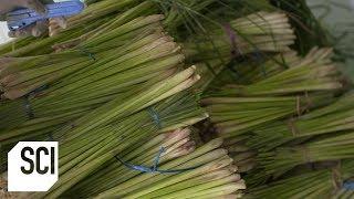Lemongrass Oil | How It