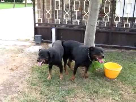Accoppiamento tra rottweilers