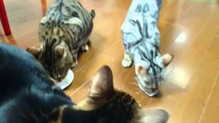 メリークリスマスにゃん。ベンガル猫軍団とミッキーのマタタビクリスマスパーティー