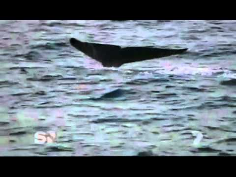 Worlds Largest Blue Whale Ever - Discovered in Sri Lanka