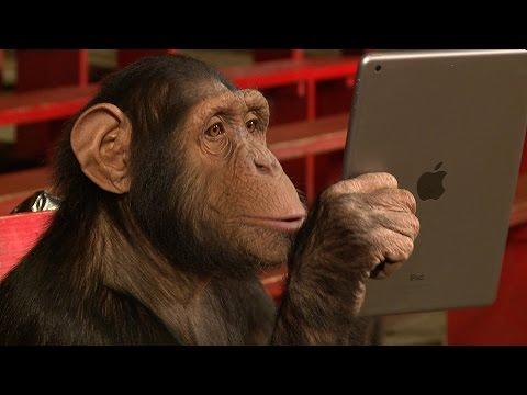 Xxx Mp4 Chimpanzees React To IPad Magic 3gp Sex