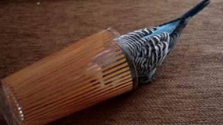 Papagal perus vorbitor