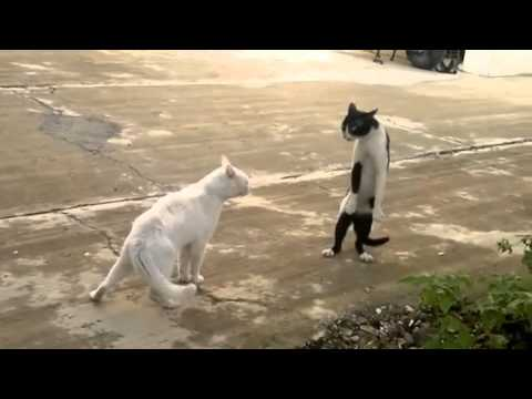 Briga de Gato Muito Loca Original Oficial .