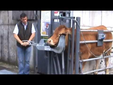 Xxx Mp4 Cattle Head Holder Cow Scoop Part 1 3gp Sex