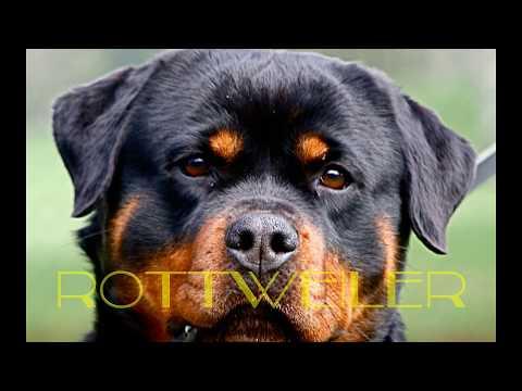 Rottweiler vs Pitbull. Una Pelea Épica Mascota o Asesino