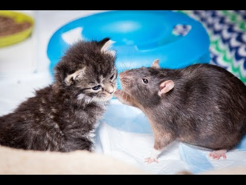 Xxx Mp4 Brooklyn Cat Cafe Employs Rats To Care For Kittens CUTE AS FLUFF 3gp Sex