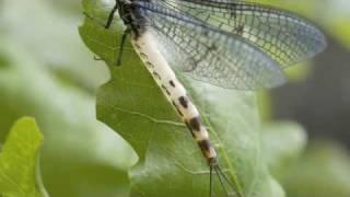 Mayfly - a life story