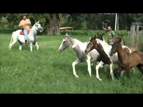 Fazenda Boa Vista éguas reprodutor e produtos M Marchador e Pampa