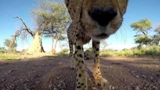Cheetah lick Gopro