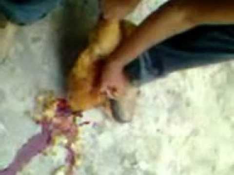 Como matar um frango caipira