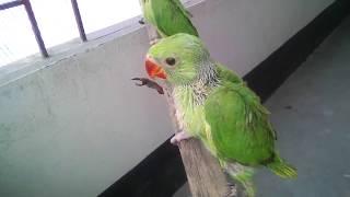 টিয়া পাখি Parrots baby পালন