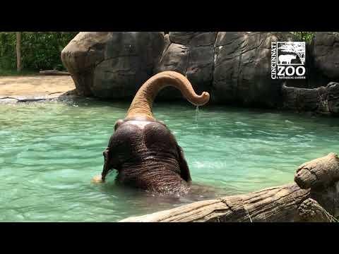 Xxx Mp4 Elephants Having A Little Play Time In The Water Cincinnati Zoo 3gp Sex
