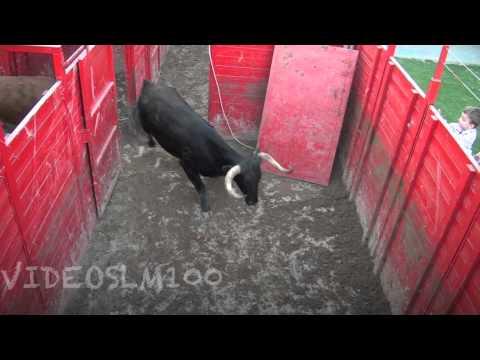 Carga de vacas y novillos del corral al camión ganadería ARRIAZU