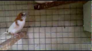 Bengali Finches breeding