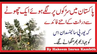 Aak Kay Darakht Kay Lajawb Faiday  آک  کے درخت کے فائدے