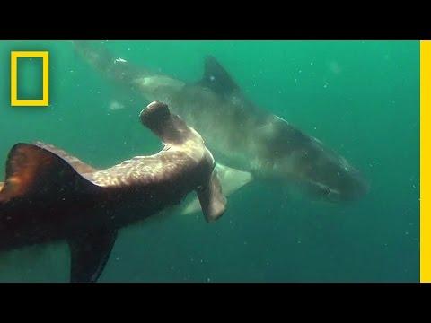 Xxx Mp4 Tiger Shark Vs Hammerhead Shark National Geographic 3gp Sex