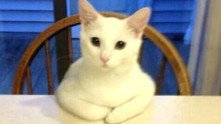 Funny Cats Acting Like Humans Compilation 2015