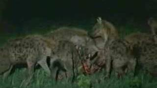 Lion's Vs Hyena AWESOME!!! Watch a Male Lion in action...