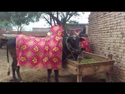Bulls in Pakistan