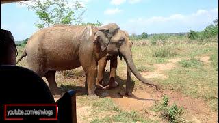 Elephant Mud Bath - Udawalawe National Park
