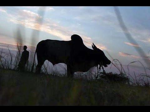 ভারতের আদালতে গরু জবাই বন্ধের আবেদন খারিজ