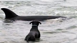Dog chases  Shark In the ocean