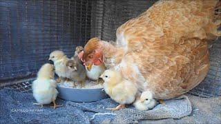 Allevamento domestico del pollame e sua importanza nella piccola economia contadina