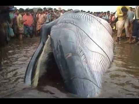 Giant Blue Whale found in Digha, dated 10.12.2012.wmv