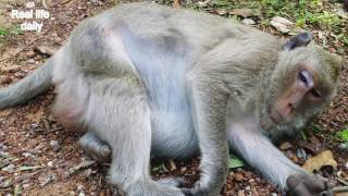 Pity Monkey She beaten by Nearly to give a birth | Real life daily 11