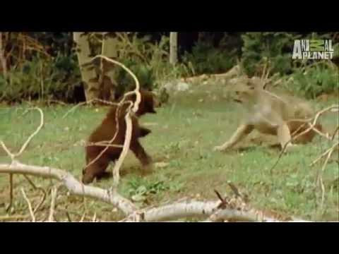 Leão da montanha x Urso lion montain x bear baby filhote de urso derrota puma