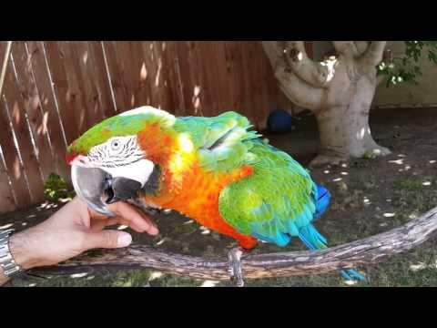 Xxx Mp4 My Harlequin Macaw On His Tree Swing 3gp Sex