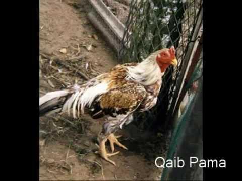 tipos de gallos de pelea