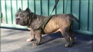 Pocket American Bully Waway Philippines