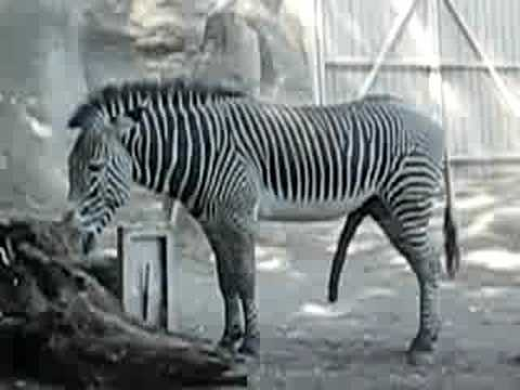 A very happy Zebra 非常快樂的斑馬 Holy Cow ooops I mean . Holy Zebra
